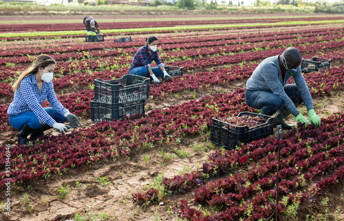 Fotomural Farm workers in face masks cutting red lettuce on plantation