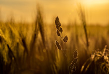 Golden Wheat Field At Sunset W...