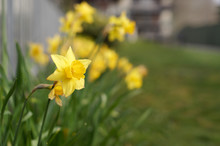A Close Up View Of Daffodil Flower. Row Of Daffodils. First Signs Of Spring. Selected Focus. Blurry Background.