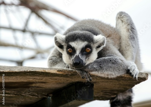 Photo Portrait Of Lemur Resting On Wood At Attica Zoological Park
