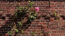 Une Rose Rose Sur Un Mur De Briques Rouges