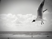 Black-headed Gull Flying Over Beach Against Cloudy Sky