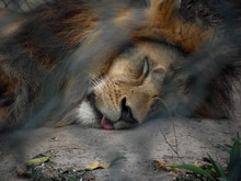 Lion Sleeping On Field