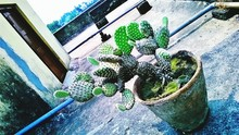 Potted Prickly Pear Cactus By Building