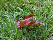 Wet Leaf In The Center Of Dew Drop Covered Blades Of Grass On A Rainy Day