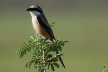 Shrike Bird