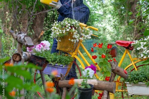 Fototapeta Gardener watering flowers in a garden. Flower in flowerpots hanging on old bicycle. obraz