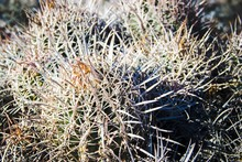 Close-up Of Cactus Growing At Death Valley National Park