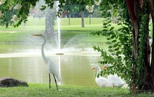 Pekin Ducks And Egret Perching On Lakeshore At Park