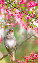 A Nightingale Sings On A Branch With Flowers