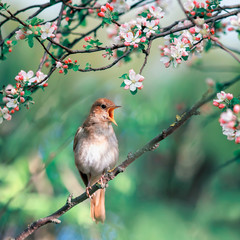 Fototapeta Drzewa a Nightingale sings on a branch with flowers