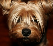 High Angle View Portrait Of Yorkshire Terrier Puppy