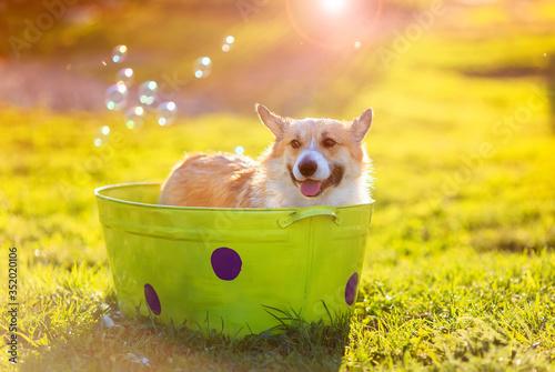Obraz cute Corgi puppy washes in a trough in the garden - fototapety do salonu