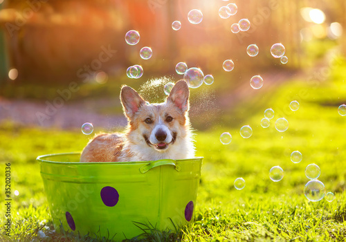 Obraz jack russell terrier playing with ball - fototapety do salonu