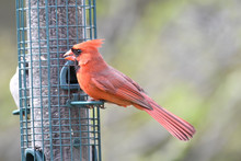 Northern Cardinal Perched On A...