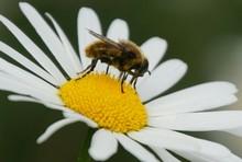Bee On Flowerhead