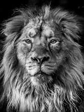 Close-up Portrait Of Lion Against Black Background