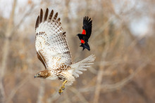 Juvenile Red-tailed Hawk Attac...