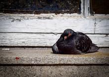 Pigeon Perching On Window Sill