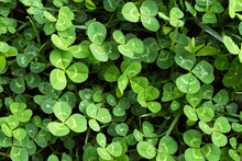 A Patch Of Clover In The Grass