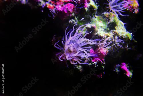 Aiptasia sea glass anemone in aquarium reef tank Canvas Print