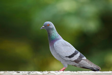 Close-up Of Pigeon Perching On Retaining Wall