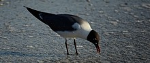 Close-up Of Black-headed Gull Foraging In Water