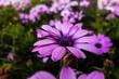 Leinwanddruck Bild - Close-up Of Purple Flower