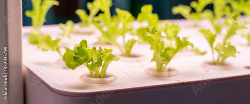 Obraz Organic hydroponic vegetable grow with LED Light Indoor farm,Agriculture Technology - fototapety do salonu
