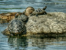 Close-up Of Turtles On Rock By Mallard Duck Swimming On River