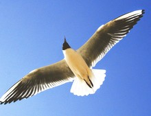 Directly Below View Of Black-headed Gull Against Clear Blue Sky