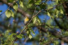 Northern Parula (Setophaga Ame...