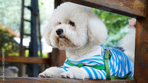 Canvas-taulu Close-up Of White Bichon Frise Relaxing On Bench