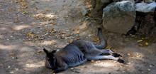 High Angle View Of Kangaroo Relaxing On Field