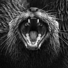 Close-up Of Angry Tasmanian Devil