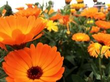 Close-up Of Orange Pot Marigold Blooming Outdoors