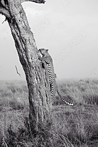 Fotografiet Close-up Of Leopard Climbing Tree In Forest