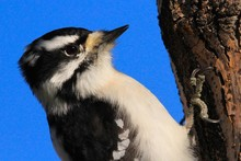 Close-up Of Downy Woodpecker O...