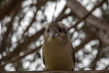 A Laughing Kookaburra Looking ...