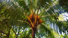 Low Angle View Of Coconuts Gro...