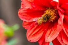 Bee On Gumamela