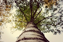 Low Angle View Of Birch Tree