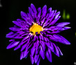 canvas print picture - Close-up Of Purple Flower Blooming Against Black Background