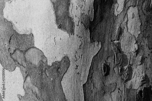 Fotografie, Obraz Full Frame Shot Of Sycamore Tree Trunk