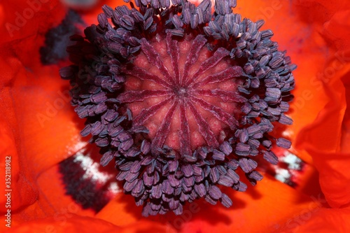 Fotomural Close-up Of Oriental Poppy Blooming Outdoors