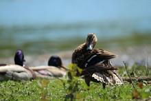 A Female Duck Preening Herself...