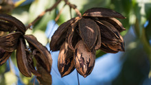 Dried Pecan Nuts On The Tree, Autumn In Israel.
