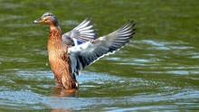 Duck Spreading Wings In Water