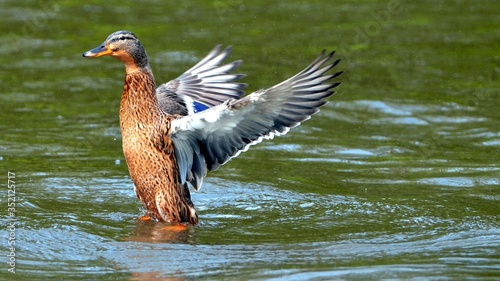 Leinwand Poster Duck Spreading Wings In Water