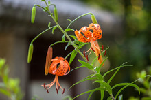 Close-up Of Orange Tiger Lilies Blooming Outdoors